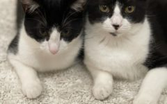 Juniors Gianna and Kiarra DeVIto's newly adopted tuxedo kittens.